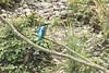 Common Kingfisher, Flachsee, Switzerland