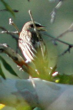 Sulphur-Bellied Flycatcher, Madera Canyon, AZ