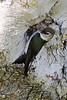 Violet-green Swallow, Santa Teresa County Park, Santa Clara County, CA