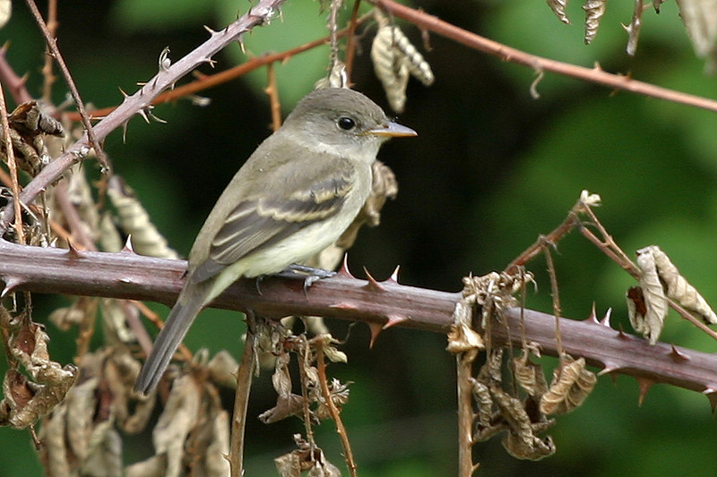 Willow Flycatcher<br /> Juanita Bay Park, Kirkland, WA