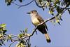 Couch's Kingbird, Santa Ana National Wildlife Refuge, TX