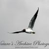 Black-headed Gull,  Staines Reservoir, UK