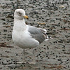 Herring Gull, Jamaica Bay, NY