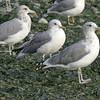 California Gulls<br /> Discovery Park, Seattle, WA
