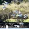 Bonaparte's Gulls, Shoreline Lake, Mountain View, CA