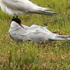 Arctic Tern, Tacumshin Lake, Wexford County, Ireland