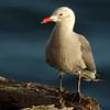 Heerman's Gull, Monterey, CA