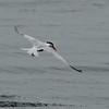 Elegant Tern, Half Moon Bay, CA