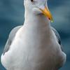 Herring Gull, Monterey, CA