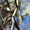 Brown-Headed Honeyeater, Blue Mountains, Australia