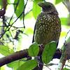 Green Catbird, Royal National Park, New South Wales, Australia