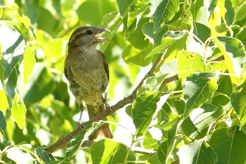 Australasian (Horsefield's) Bushlark