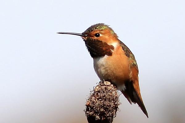 Allen's Hummingbird, Santa Cruz, CA