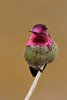 Anna's Hummingbird, Mountain View, CA