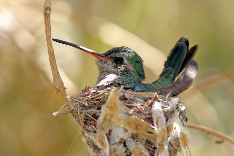 Broad-billed Hummingbird in Nest, Tucson, AZ