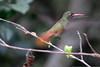 Buff-bellied Hummingbird, Sabal Palm Sanctuary, TX