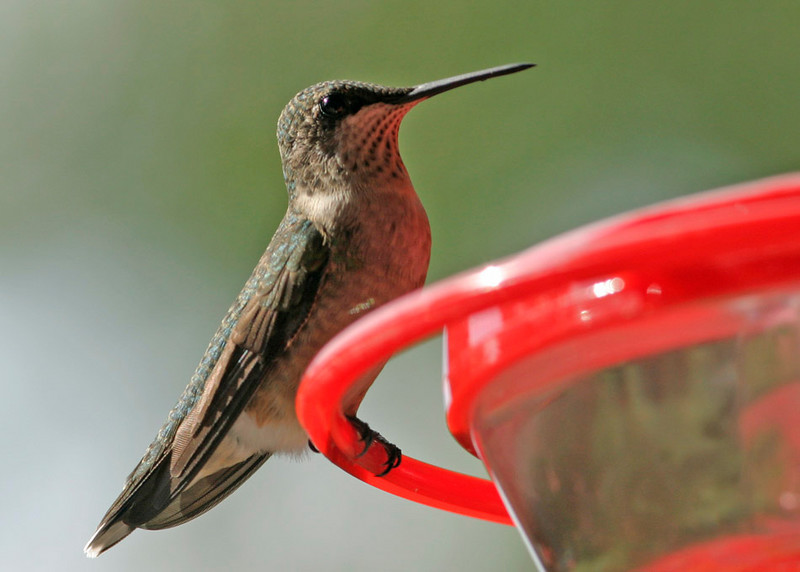 Ruby-Throated Hummingbird<br /> Omaha, NE