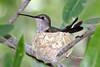 Black-chinned Hummingbird, Mission Trails Regional Park, San Diego County, CA