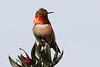 Allen's Hummingbird, UCSC Arboretum, Santa Cruz, CA