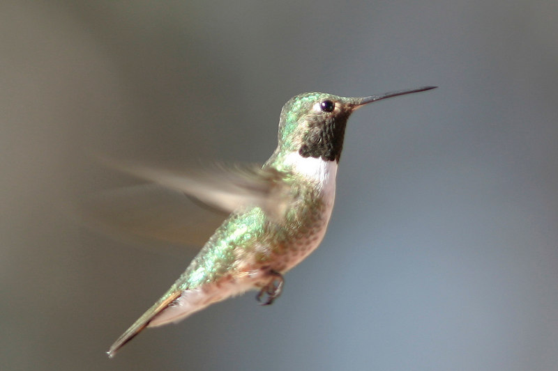 Broad-tailed Hummingbird, Patagonia, AZ