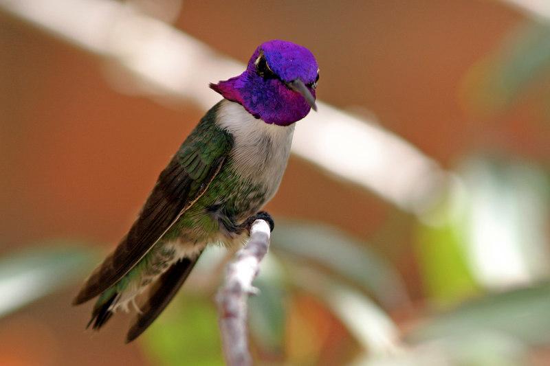 Costa's Hummingbird, Tucson, AZ