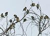 Cedar Waxwings, Hassayampa Preserve, Arizona