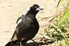Australian Magpie, Blue Mountains, NSW, Australia