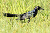 Boat-Tailed Grackle, Osceola County, FL