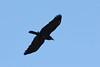 Australian Raven, near Manly, Australia, NSW