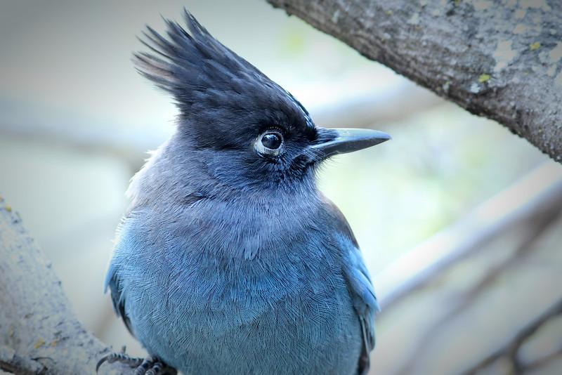 Steller's Jay, Alum Rock Park, Santa Clara County, CA
