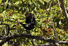 Spangled Drongo, Blue Mountains, NSW, Australia