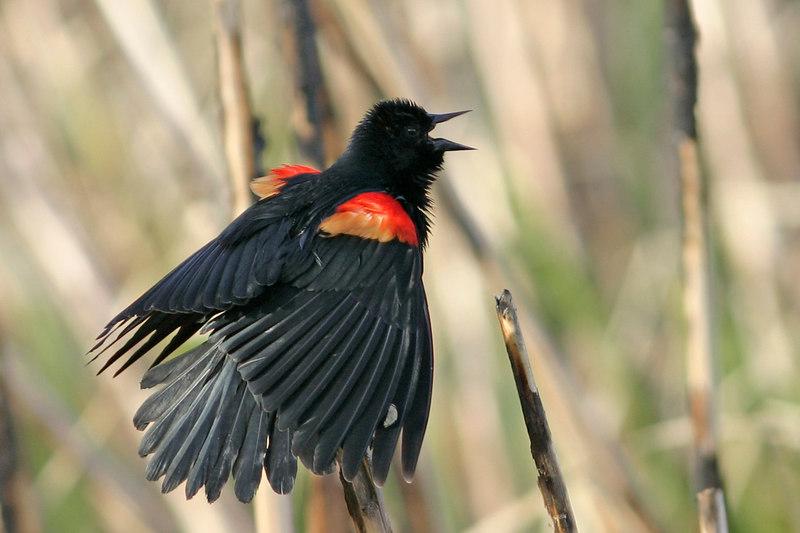 Red-winged Blackbird, Tucson, AZ