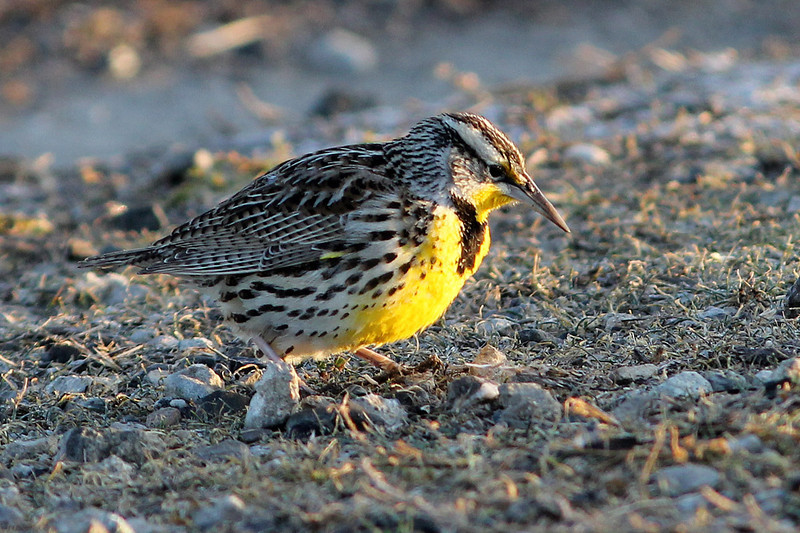 Western Meadowlark, Charleston Slough, Mountain View, CA
