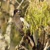 Australian Magpie (juvenile)