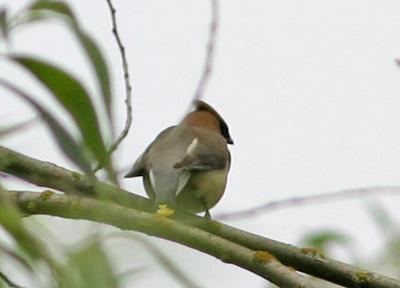Cedar Waxwing, Juanita Bay, Kirkland, WA