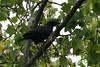 Fish Crow, Occoquan Bay NWR, VA
