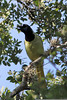 Green Jay, Santa Ana National Wilflife Reguge, TX
