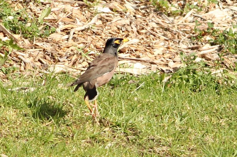 Common Myna, Sydney, NSW, Australia