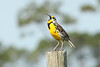 Eastern Meadowlark, Osceola County, FL
