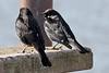 Tricolored Blackbird, Calero Resevoir, Santa Clara County, CA