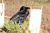Australian Raven, Sydney, NSW, Australia
