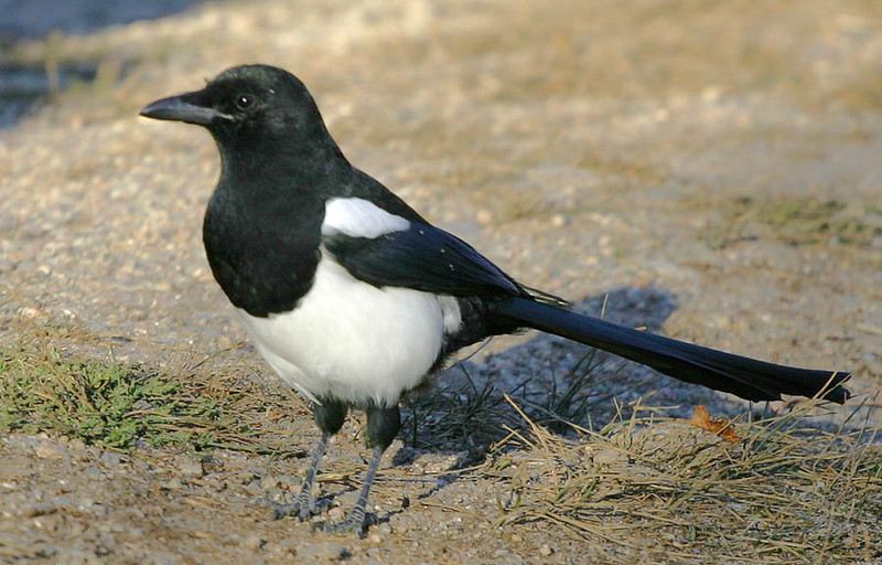 Black-Billed Magpie, Rocky Mountain NP, CO