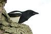 Eurasian Magpie, Phoenix Park, Dublin, Ireland