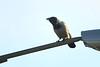 Hooded Crow, Irishtown Nature Park, Dublin, Ireland