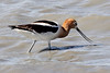 American Avocet, Quivira National Wildlife Refuge, KS