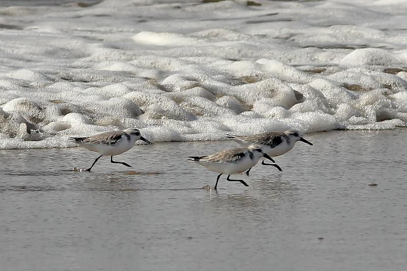 Sanderling, Santa Barbara, CA