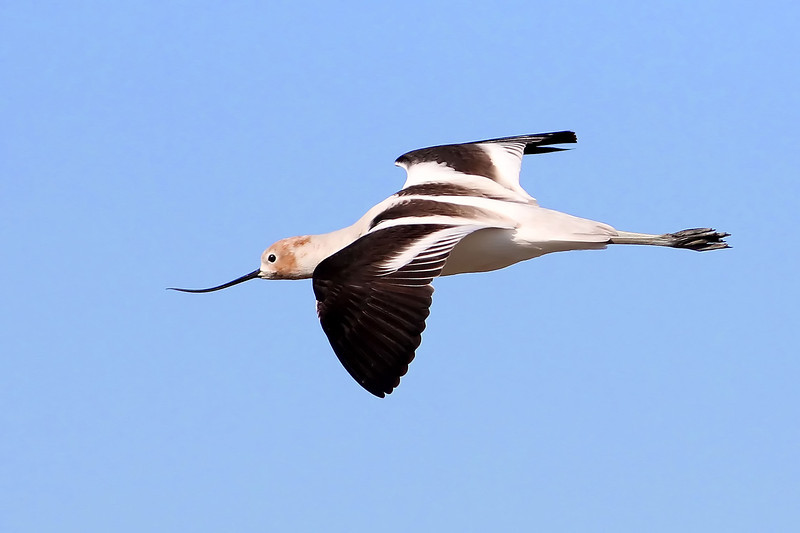 American Avocet, Coast Casey Forebay, Mountain View, CA