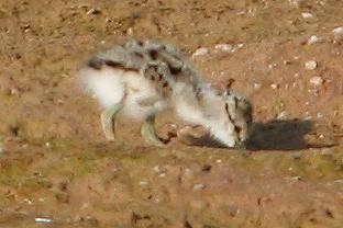 American Avocet Chick, Gilbert, AZ