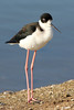 Black-necked Stilt, Shoreline Lake, Mountain View, CA