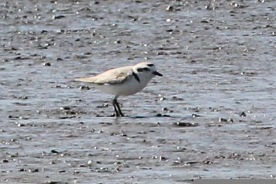 Snowy Plover, Quivira National Wildlife Refuge, KS